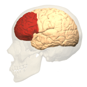 prefrontal_cortex_left_-_lateral_view-300x300